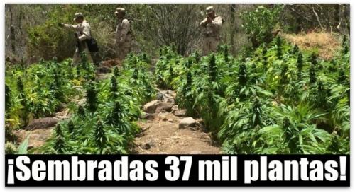 0-a-aa-plantios-de-marihuana-en-comondu